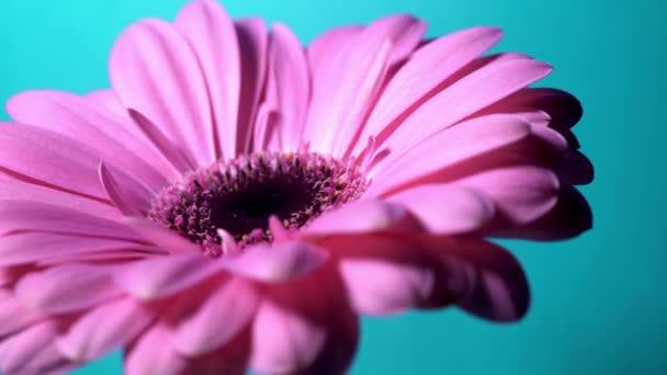 Květina růžová purpurová Gerbera se otáčí zleva doprava na modrém izolovaném pozadí. Krásná jednoduchá kvetoucí Gerbera. Daisy je květina z čeledi Asteraceae. 4k.