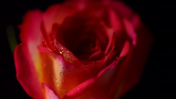 Vörös Rózsa vízzel csepp elforgatható fekete elszigetelt háttér. Gyönyörű egyetlen virágzó virág