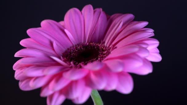 rosa magenta gerbera Blume mit Wassertropfen, die auf schwarzem, isoliertem Hintergrund rotieren. schöne einzelne blühende Gerbera. Gänseblümchen ist eine Blume aus der Familie der Asteroiden. 4k.
