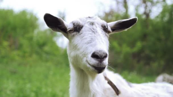 Podivné šťastné pasení bílých koz v parku. Portrét srandovní kozy. Zvířecí zvíře, které se dívá na fotoaparát.