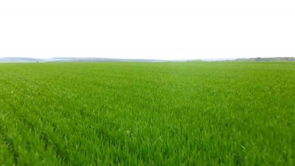 Pole anténa. zelená na šířku. V létě Meadow. Drone plující pozpátku nad pšenicí, která roste na zemědělské lokalitě. Přirozené pozadí.