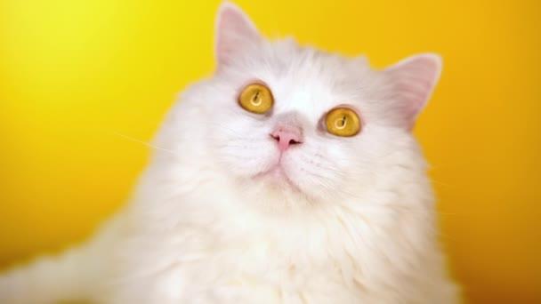 Portrét Chlupaté kočky olizuje žluté pozadí. styl, skvělý koncept zvířete