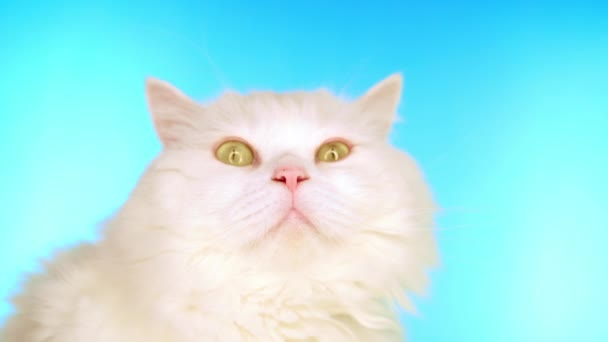 Fluffy white cat is licking on blue background in studio. Adorable cute domestic pet. Animals, nature, kitten concept.