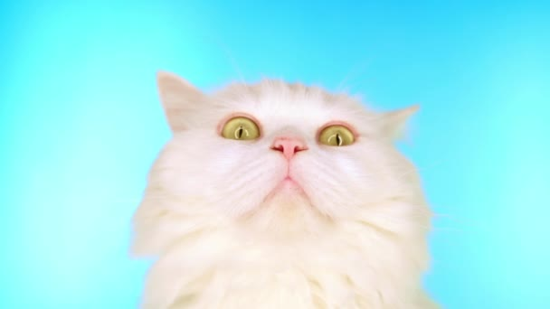 Adorable cute domestic pet. Fluffy white cat on blue background in studio. Animals, nature, kitten concept.