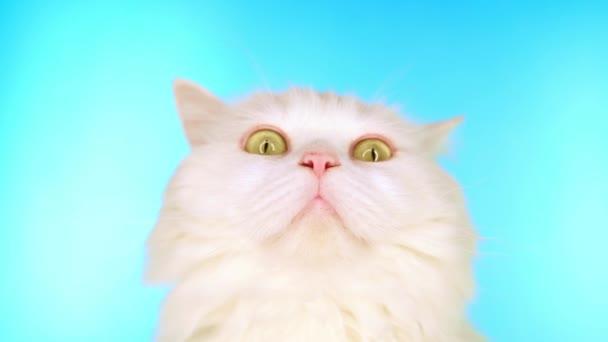 Imádnivaló ravasz belföldi kisállat. Bolyhos, fehér macska, kék háttérrel a stúdióban. Állatok, természet, cica-koncepció.