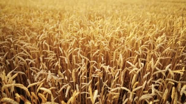 Yellow ripe ears of barley plants swaying by wind in wheat field. Harvest, nature, agriculture, harvesting concept.