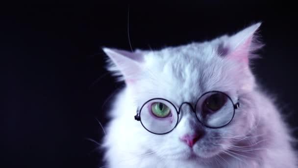 Portré Highland egyenes bolyhos macska, hosszú hajú, kerek szemüveg. Divat, stílus, hűvös állat koncepció. Stúdiófelvételek. Fehér Pussycat a sötét háttér.