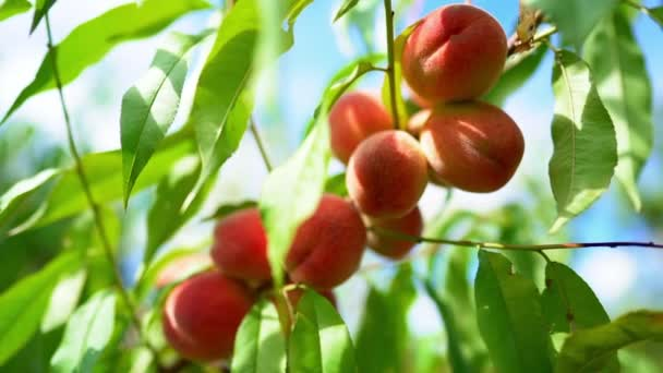 Ripe juicy peaches in sunlight. Branch of tree in fruit garden. Clean orchard, harvest, sweet food concept.