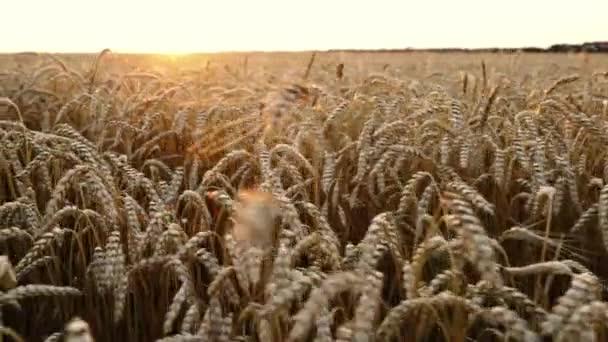 Sárga érett búza mező. Betakarítás, a természet, a mezőgazdaság, a betakarítás fogalmát. Jobbról balra mozgó kamera.