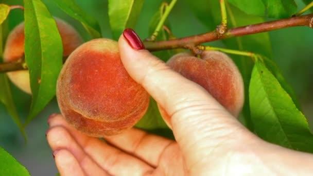 Női kéz pick érett lédús őszibarack a őszibarackfa. Fióktelep a gyümölcskertben. Tiszta ültetvény, termés, édes élelmiszer koncepció.