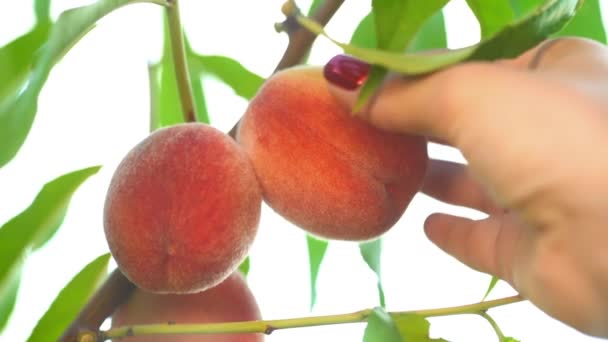 Female hand pick ripe juicy peaches from peach tree. Branch in fruit garden. Clean orchard, harvest, sweet food concept.