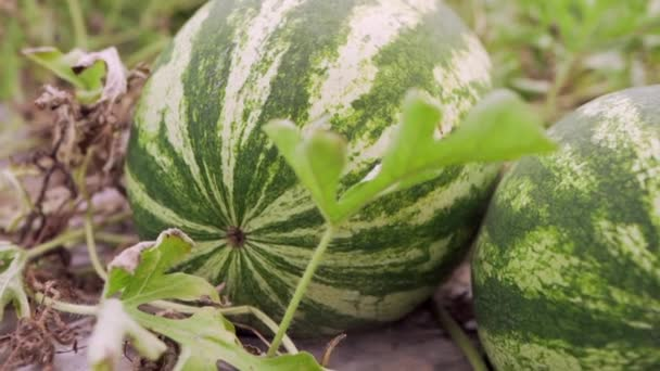 Big ripe watermelons on melon field. Harvest, food, healthy eating lifestyle. Close up view.