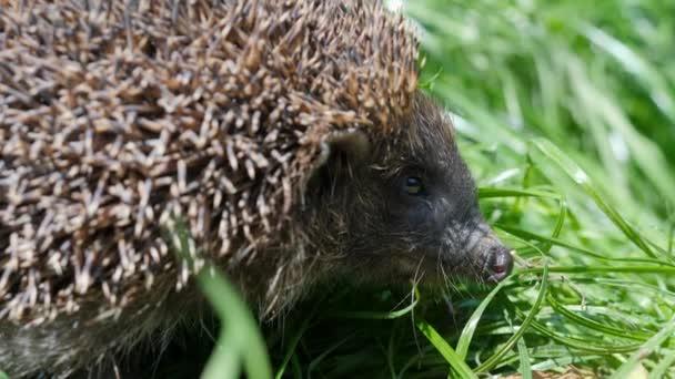Wild sweet hedgehog in nature background. Natural light. West european Erinaceus europaeus on green background