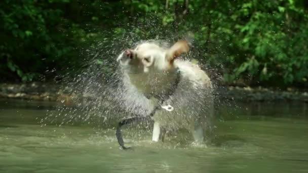 Erwachsene Labrador baden im Fluss und genießt die Natur. Lustiges Tier. Nasser Hund zittert
