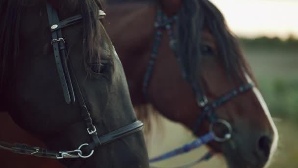 Nahaufnahme Porträt eines schönen eingespannten Pferdes. Nutztiere, Sportkonzept