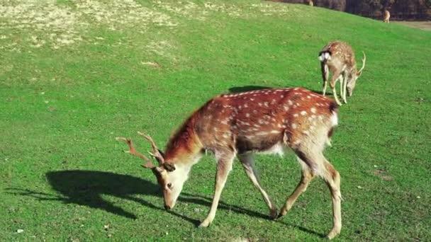 Junge Hirsche grasen auf grünem Rasen, Frühlingszeit. Niedliche Tiere auf dem Bauernhof. Zeitlupe.