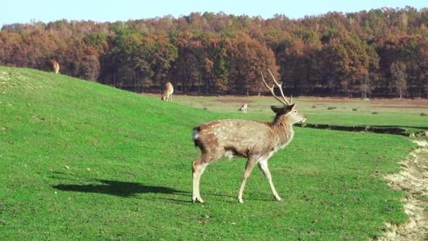 Divoká zvěř na zelené louce nahlodává trávu. Příroda, krásná zvířata žijí ve svém prostředí. Zpomalený pohyb.