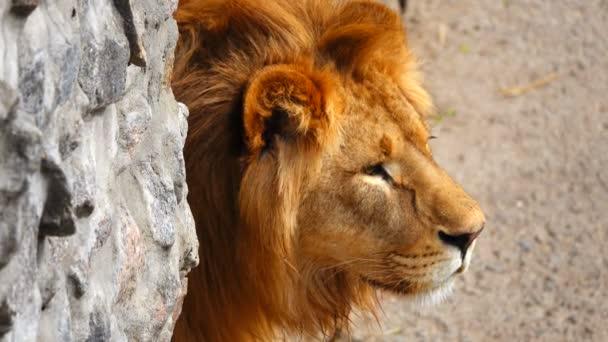 portrét lva v jeho prostředí