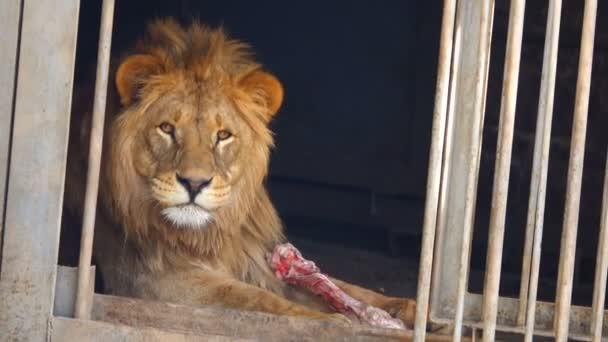 portrait of a lion in its habitat