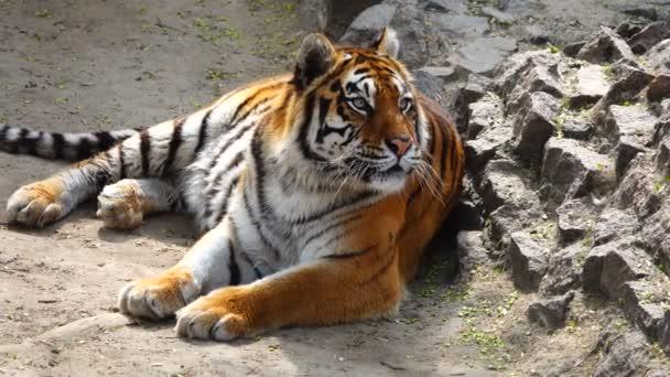 az élőhely tigris