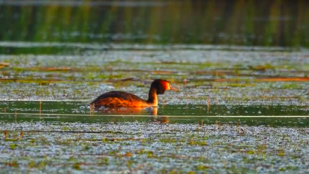 Velká kachna na jezeře. zvuk