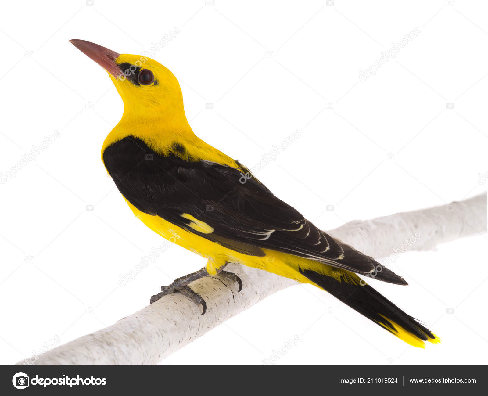 Curious Eurasian Golden Oriole Oriolus Oriolus Isolated On A White Background Photo By Bazil