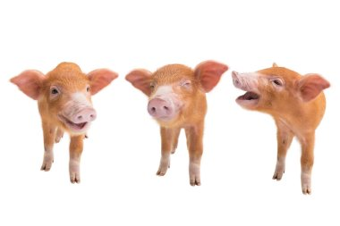 three piglets isolated on a white background