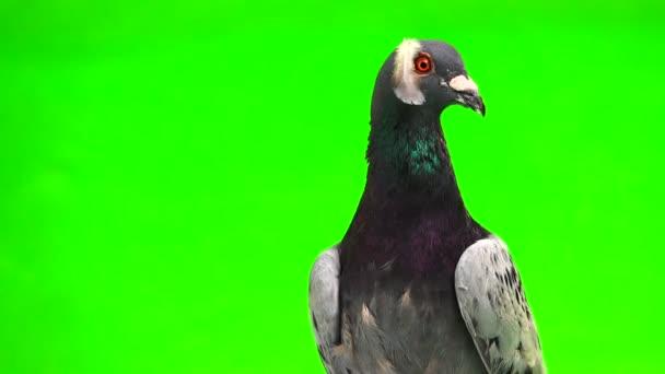 graue Shtihel Taube mit einer Feder auf dem Kopf auf grünem Hintergrund isoliert
