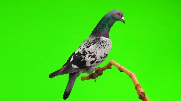 graue Shtihel sitzt auf einem Ast auf grünem Hintergrund isoliert Taube