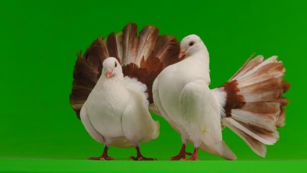 Políbit dvě bílé holubice Páv izolované na zelené obrazovce jako symbol míru