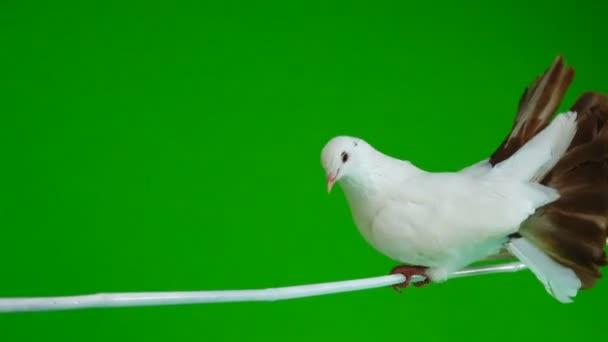 muž bílé holubice Páv čistí peří izolované na zelené obrazovce jako symbol míru
