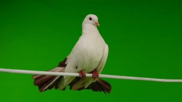 férfi fehér galamb páva toll, mint a béke szimbóluma egy zöld képernyő elszigetelt tisztítja