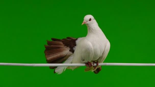férfi fehér galamb a béke jelképe egy zöld képernyő elszigetelt páva