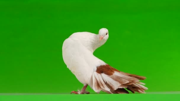 Female white dove peacock isolated on a green screen as symbol of peace