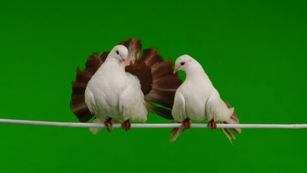 zwei weiße Taube Pfau isoliert auf einem grünen Bildschirm als Symbol des Friedens