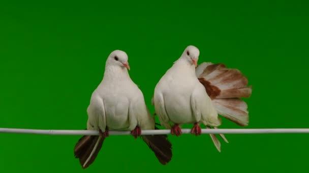 két fehér galambot páva elszigetelt egy zöld képernyő mint a béke szimbóluma