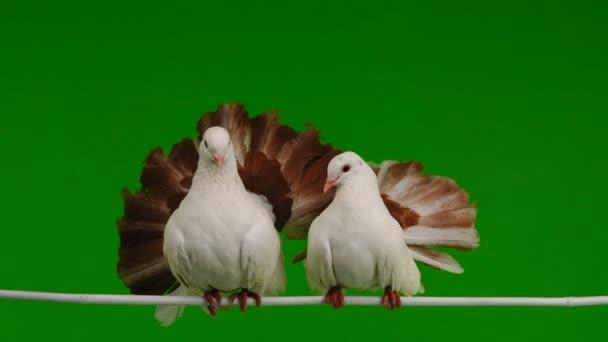 dvě bílé holubice páv, jako symbol míru, samostatný na zelené obrazovce