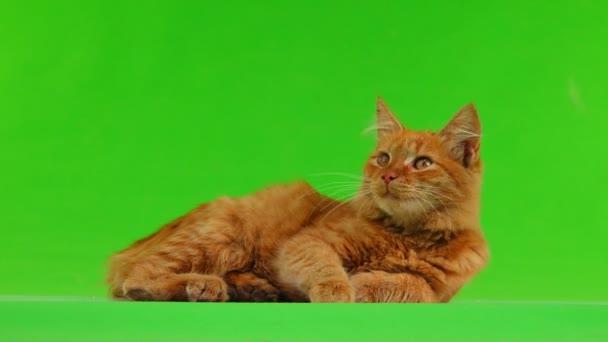 kočka vypadá vlevo a poté vpravo izolovaný na zelené obrazovce