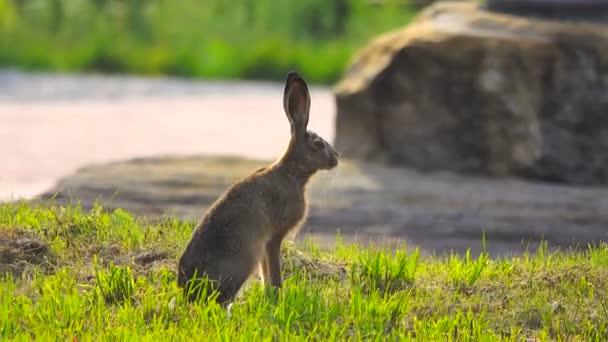 Wild hare sedí, čekání na útěk
