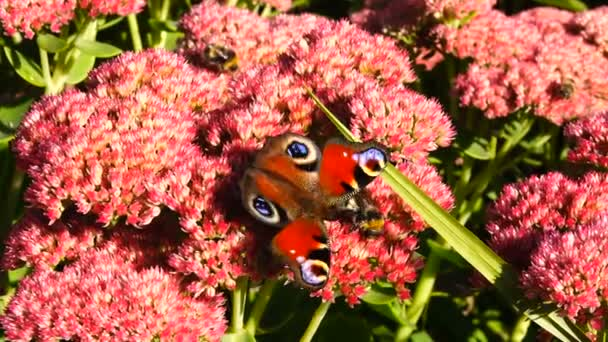 motýl paví oko na květiny