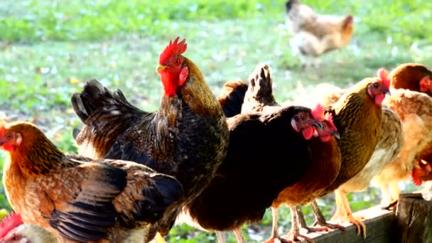 roosters and hens on the farm. Sound