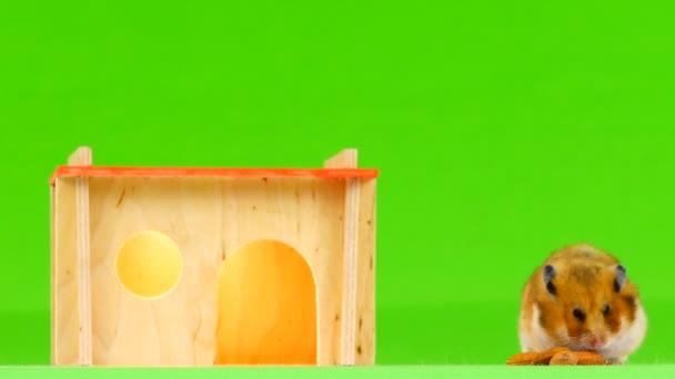 Hampster videa
