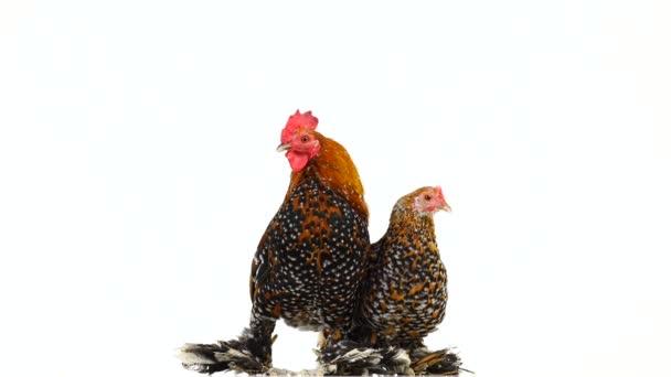 Kohout a kuřecí Milfleur na bílé plátno