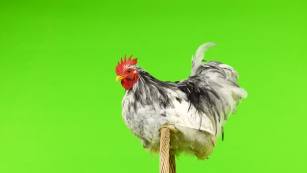 cochin rooster sitting on a tree branch on green screen