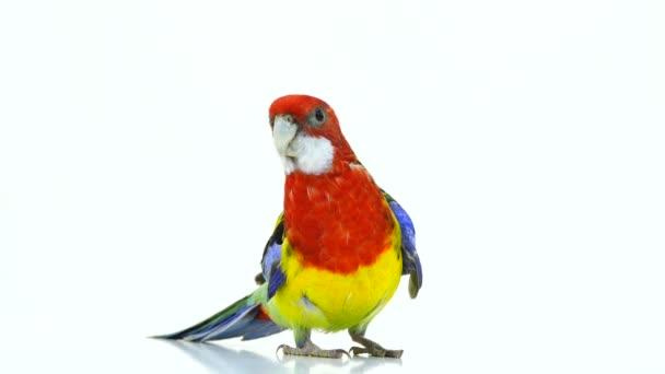 přejde zpět Rosella papoušek izolovaných na bílém obrazovky