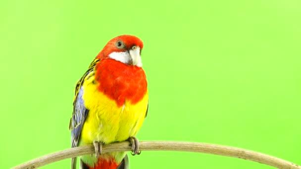 Rosella papoušek na klacek na zelené obrazovce.