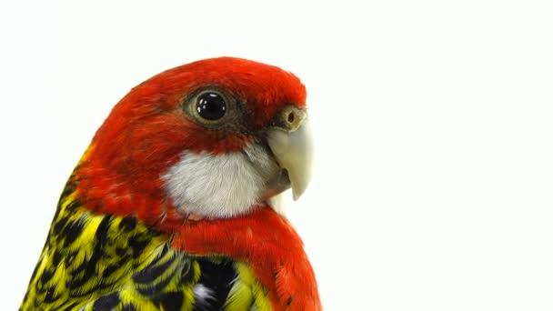 portrét Rosella papoušek izolovaných na bílém obrazovky