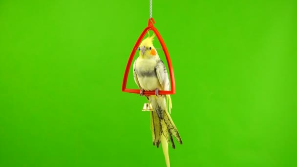 Corella parrot isolated on green screen