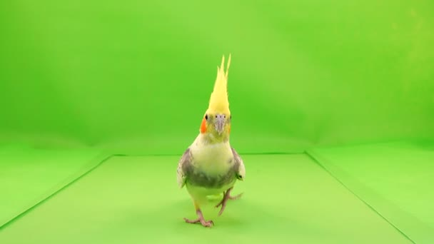 Corella parrot runs along the path to the camera on a green screen.