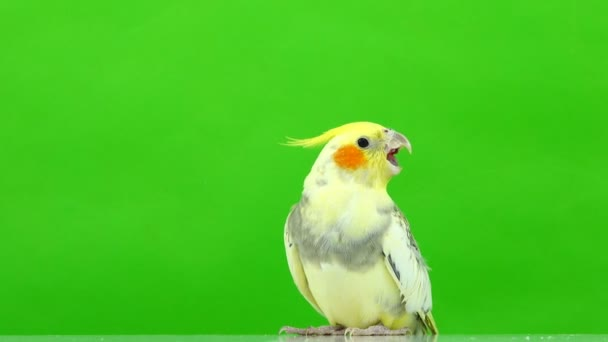 parrot corella speaks isolated on green screen